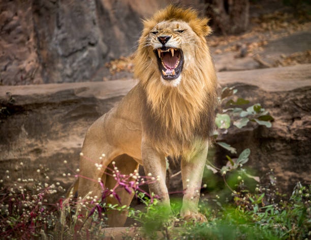 lion roaring, standing amidst the natural environment of the forest. - lion stock photos and pictures