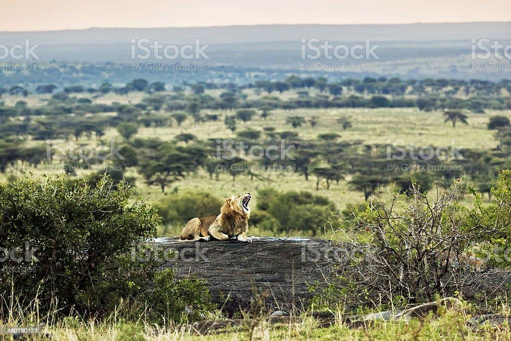 Lion roars on savanna at sunset. Safari in Serengeti, Tanzania stock photo