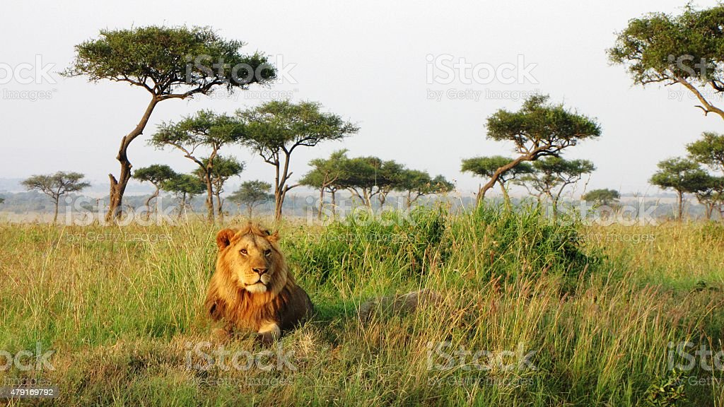 Lion - Savannah,Masai Mara National Reserve,Kenya stock photo