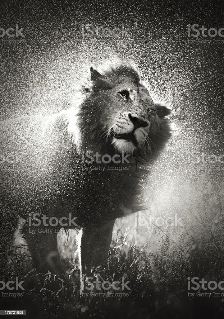 Lion shaking off water stock photo