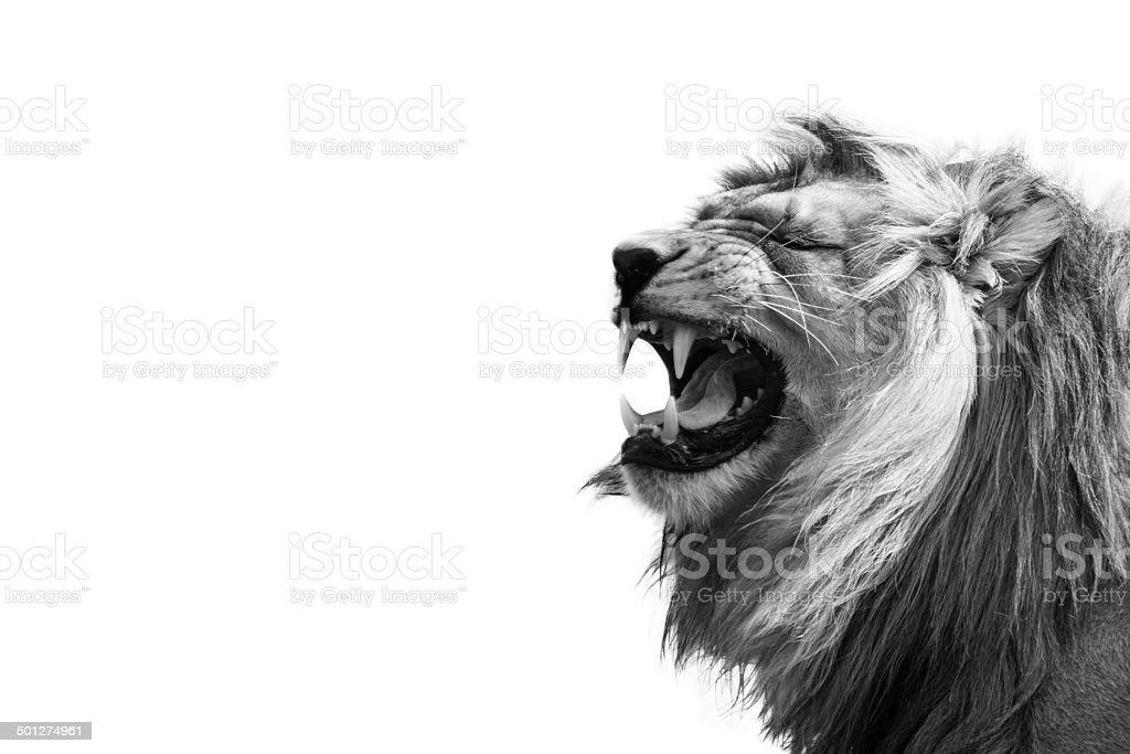 Lion Showing Teeth stock photo