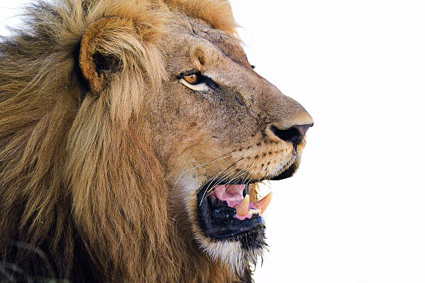 Royalty Free Lion Side View Pictures Images And Stock