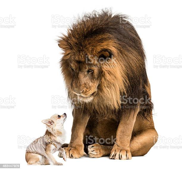 Lion sitting and looking at a chihuahua dressed picture id483447929?b=1&k=6&m=483447929&s=612x612&h=sda2hlyvkczijd s0brvrt sd8turm9cioabysncfoy=