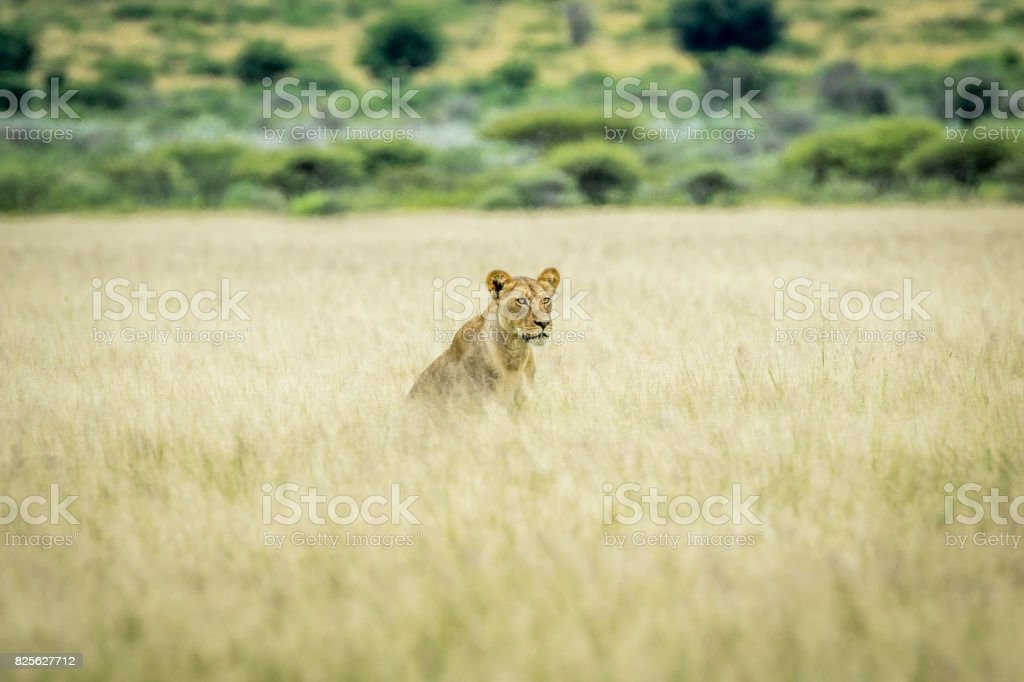 Lion sitting in the high grass. stock photo