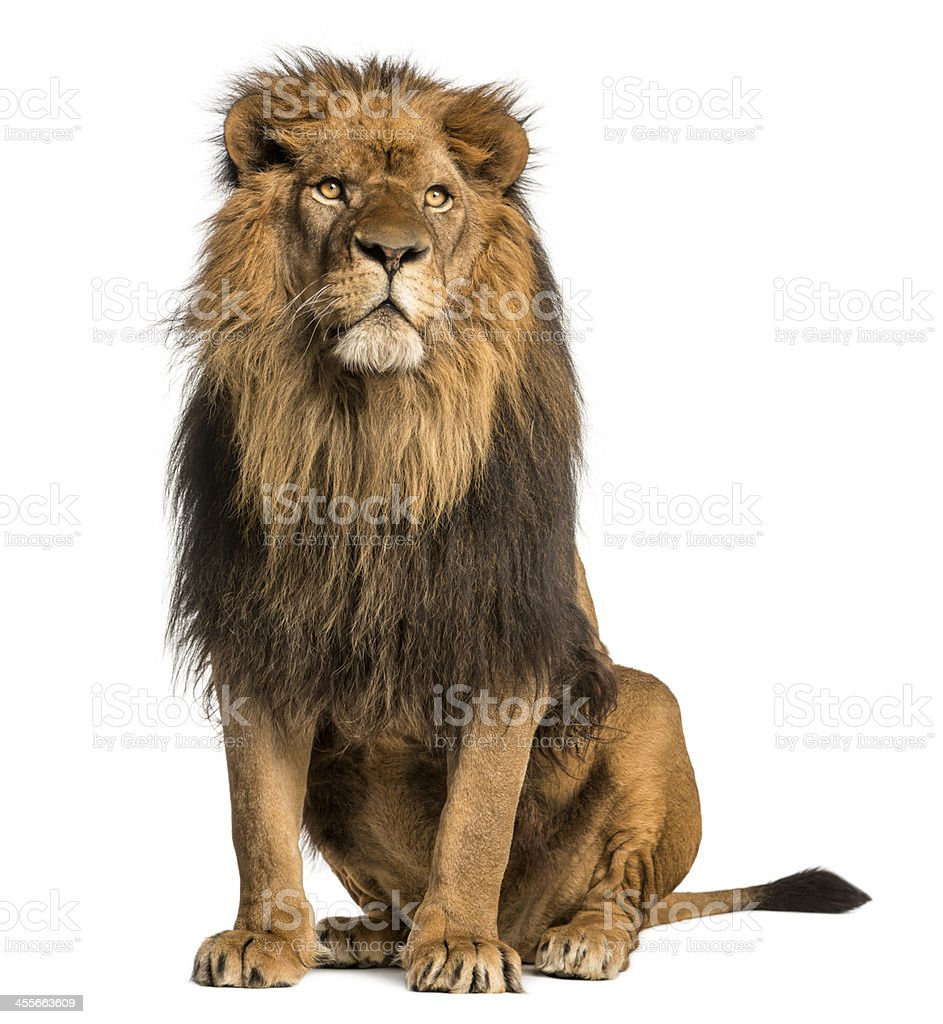 Lion sitting, looking away, Panthera Leo, 10 years old, isolated stock photo