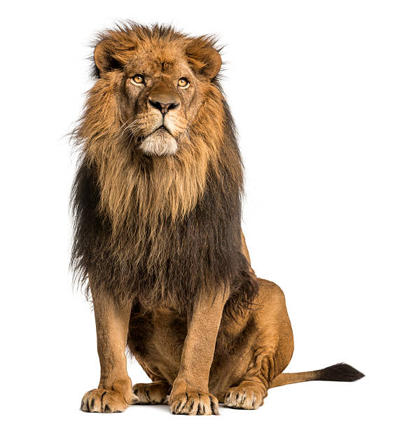 lion sitting, looking away, panthera leo, 10 years old, isolated - mannetjesdier stockfoto's en -beelden