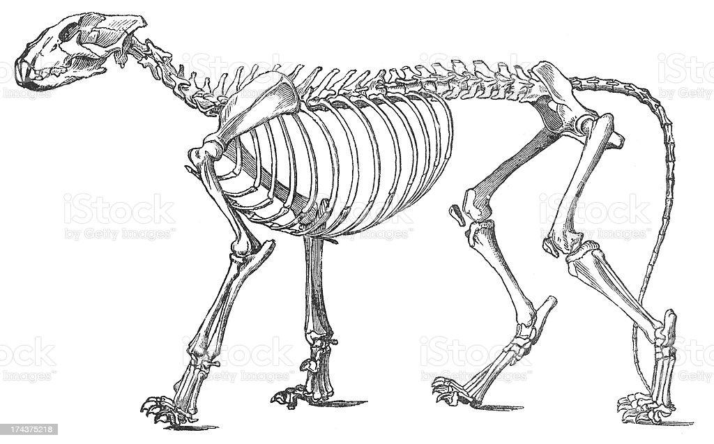 lion skeleton woodcut stock photo
