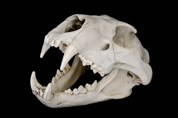 Lion Skull stock photo