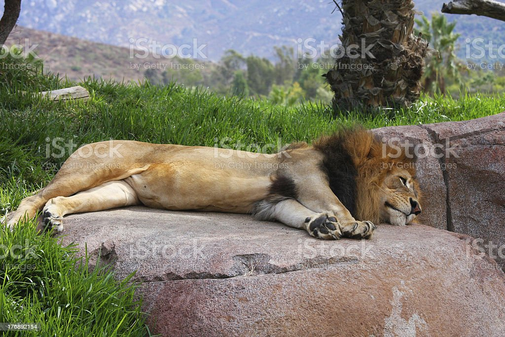 Lion sleeping on a rock A male lion sleeping on a rock Africa Stock Photo