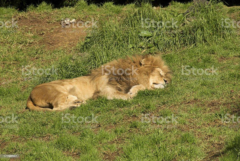 lion sleeping on grass royalty-free stock photo