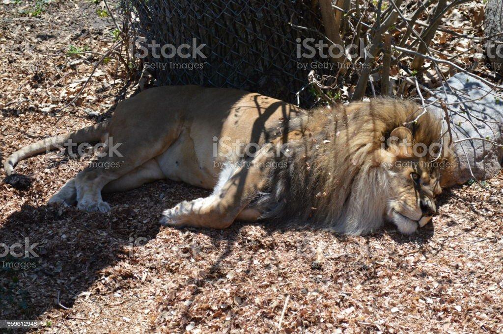 León durmiendo en el suelo - Foto de stock de Animal libre de derechos