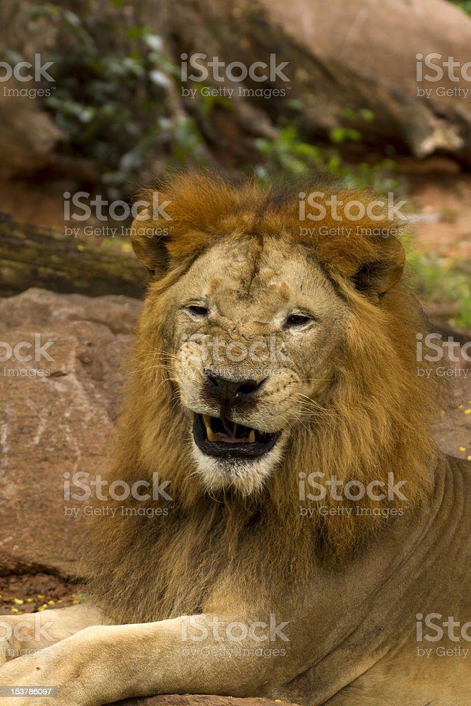 lion smile. royalty-free stock photo