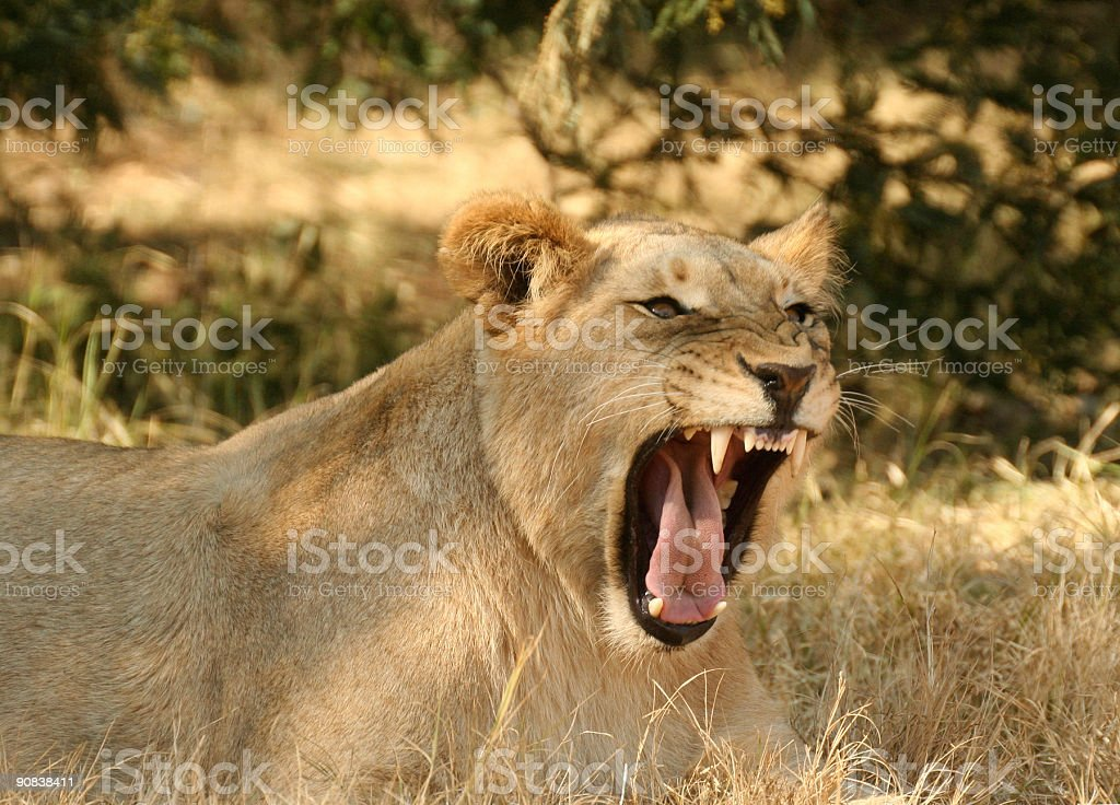 Lion Snarling royalty-free stock photo