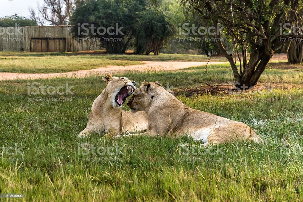 Lion, South Africa. March 31, 2015 stock photo