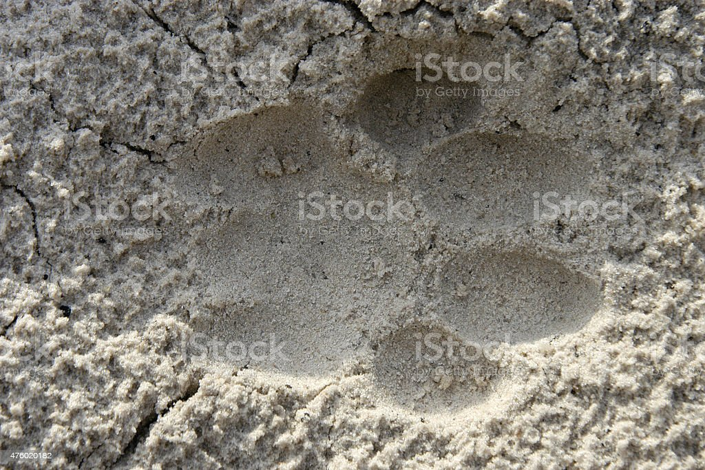 Lion spoor in sand, Botswana stock photo