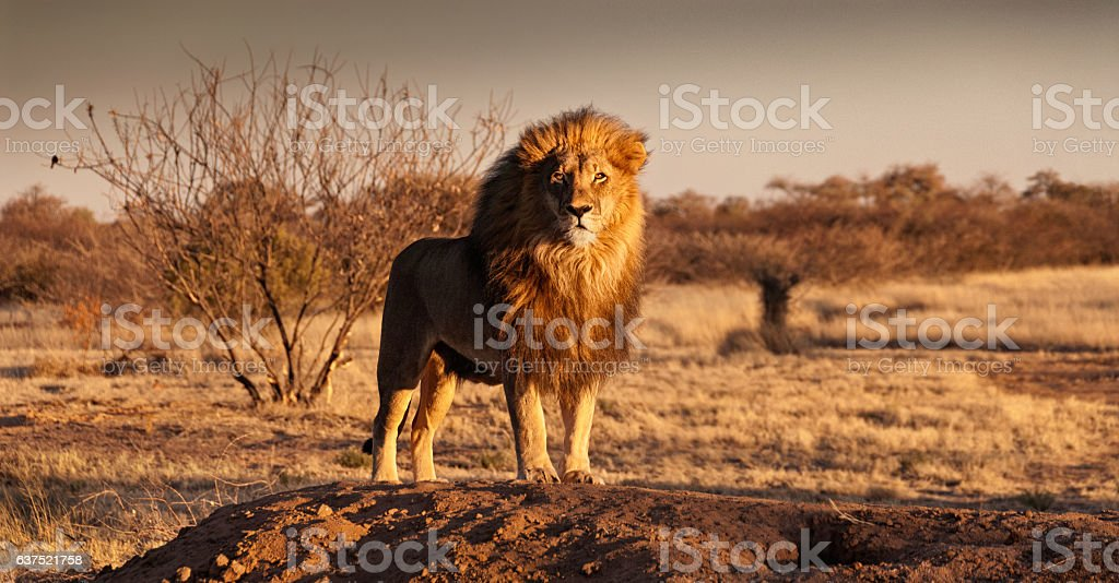 Lion standing on a hill stock photo
