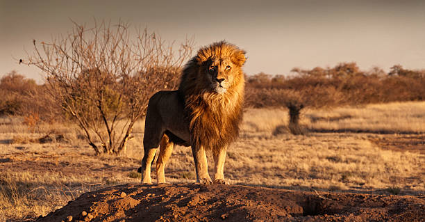 lion standing on a hill - lion stock photos and pictures