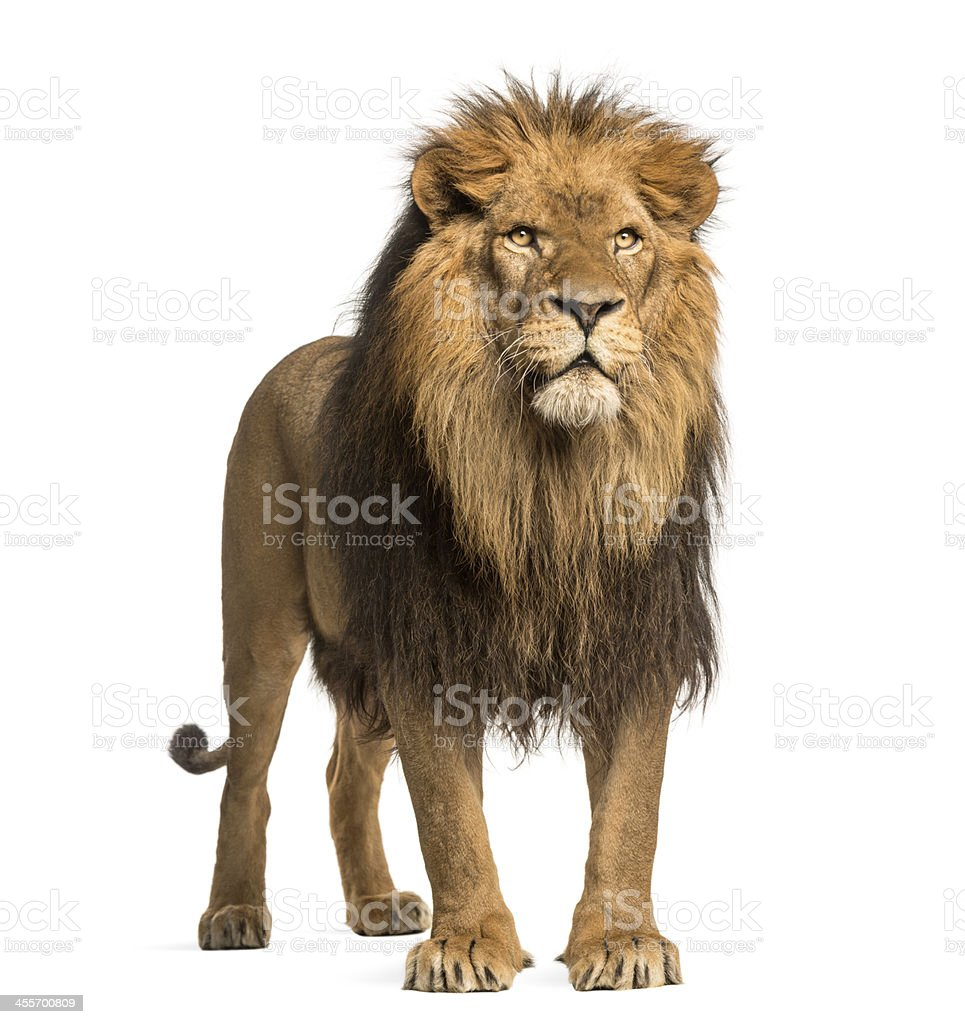 Lion standing, Panthera Leo, 10 years old, isolated on white stock photo