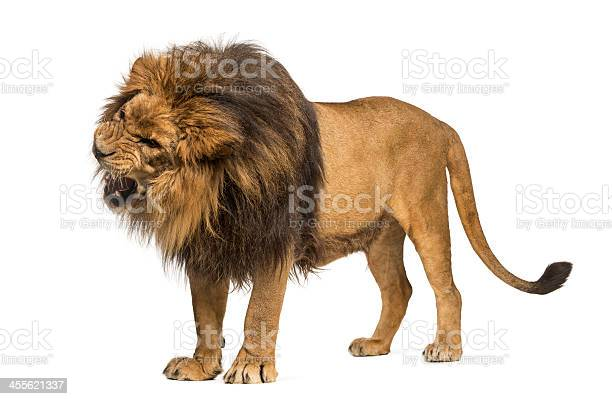 Lion standing roaring panthera leo 10 years old isolated picture id455621337?b=1&k=6&m=455621337&s=612x612&h=n2ithdlk8cmqa4kg8femjoscacazjfzxszk24oye6zy=