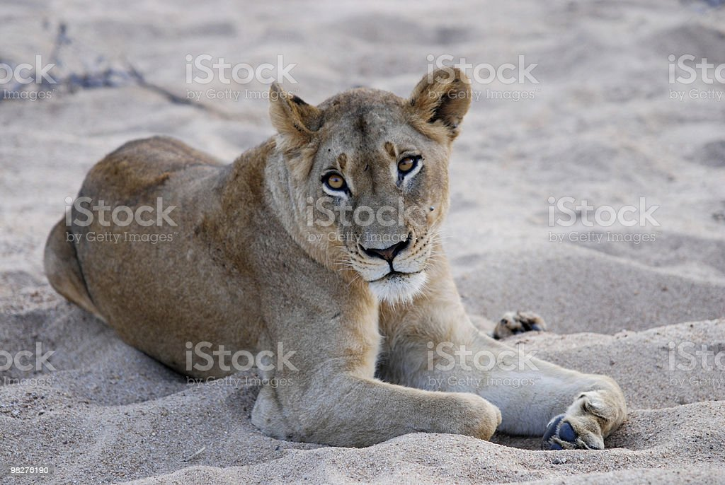 Lion stares at me royalty-free stock photo