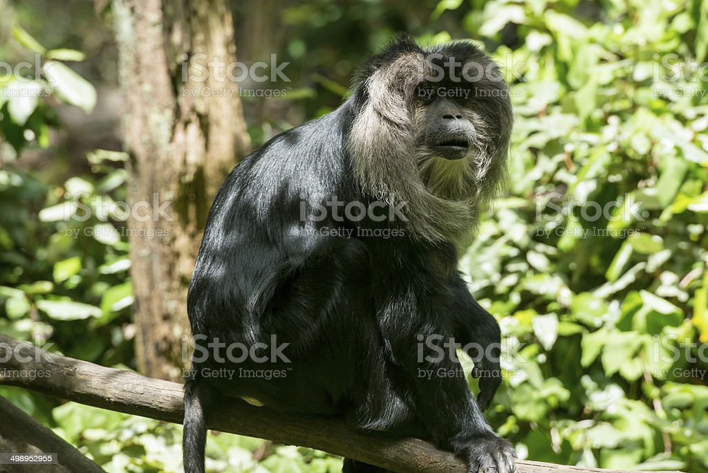 Lion Tailed Macaque royalty-free stock photo