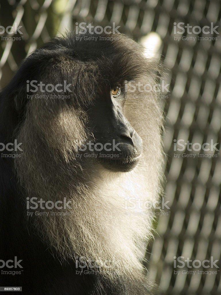 Macaco coda di leone foto stock royalty-free