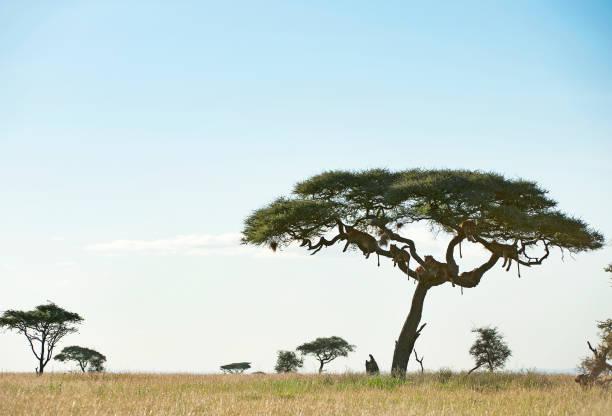 Lion tails serengeti national park tanzania picture id1040489858?b=1&k=6&m=1040489858&s=612x612&w=0&h=gejixwhovlc11ze r7 weykoluv4vdimh6xfnxtbt3w=