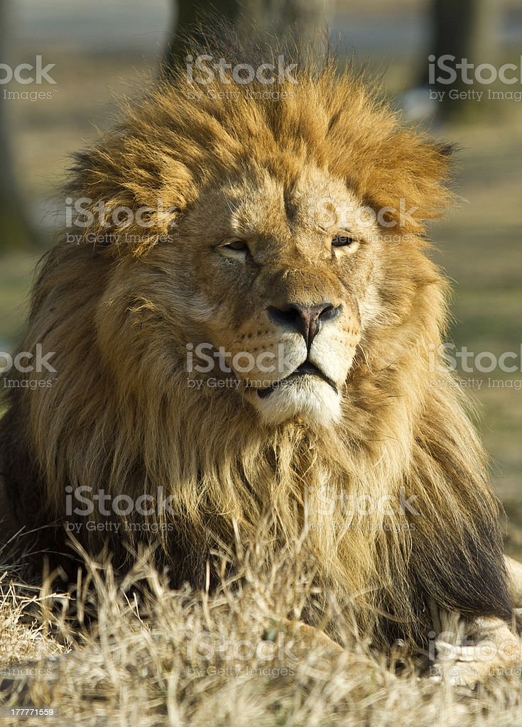Lion the king royalty-free stock photo