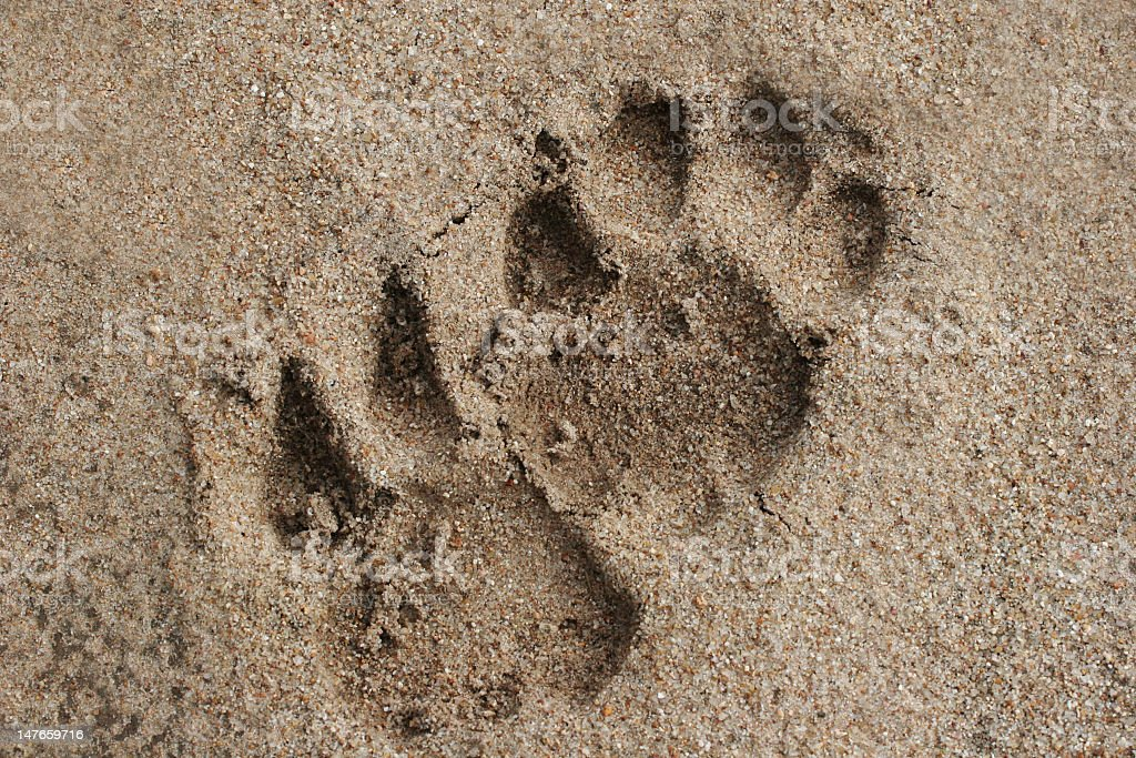 Lion Tracks in Sand stock photo