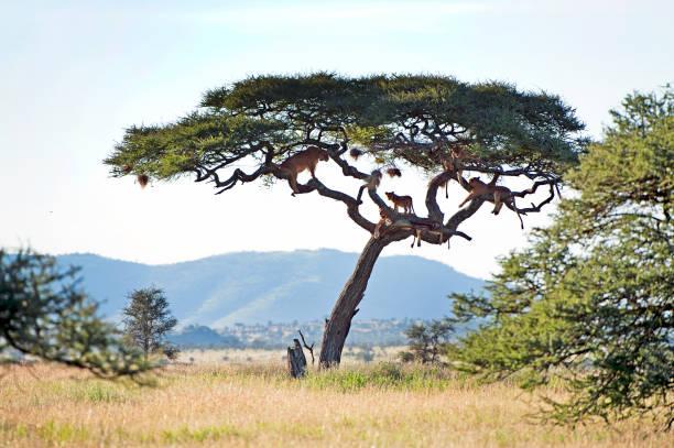Lion tree serengeti national park tanzania picture id1040490354?b=1&k=6&m=1040490354&s=612x612&w=0&h=l hdv5oi8x8tqzml7eqfthw2f jd3szsvxredd1utpa=
