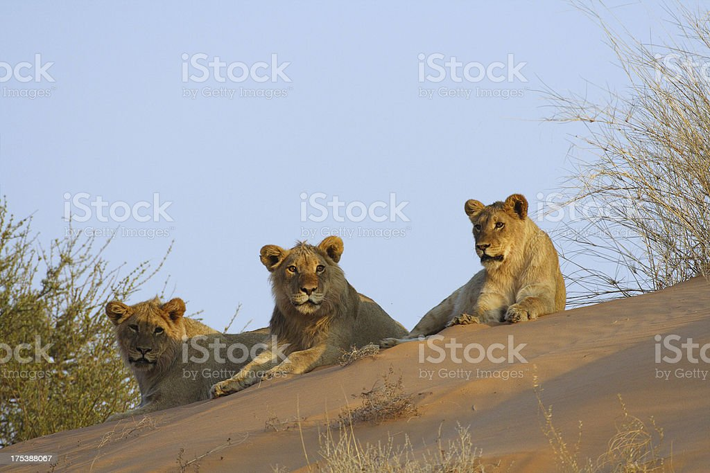 Lion trio on top of a kalahari sand dune stock photo
