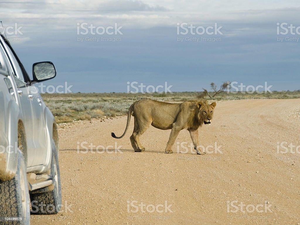 Lion walking by car, Namibia stock photo