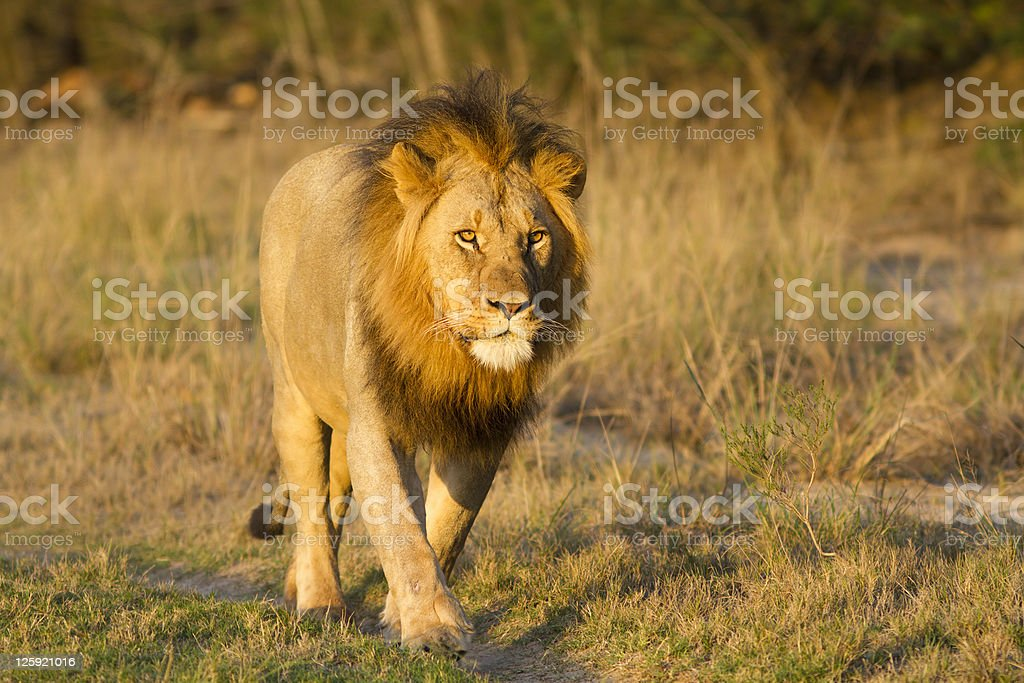 Lion walking in road royalty-free stock photo