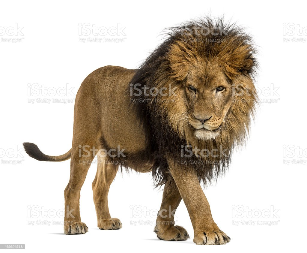 Lion walking, looking down, Panthera Leo, 10 years stock photo