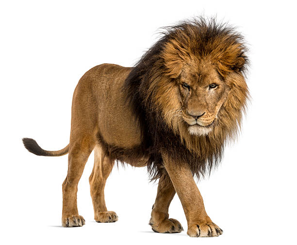 Lion walking, looking down, Panthera Leo, 10 years Side view of a Lion walking, looking down, Panthera Leo, 10 years old, isolated on white male animal stock pictures, royalty-free photos & images