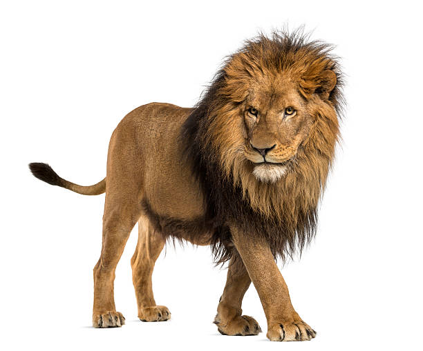 lion walking, panthera leo, 10 years old, isolated - lion stock photos and pictures