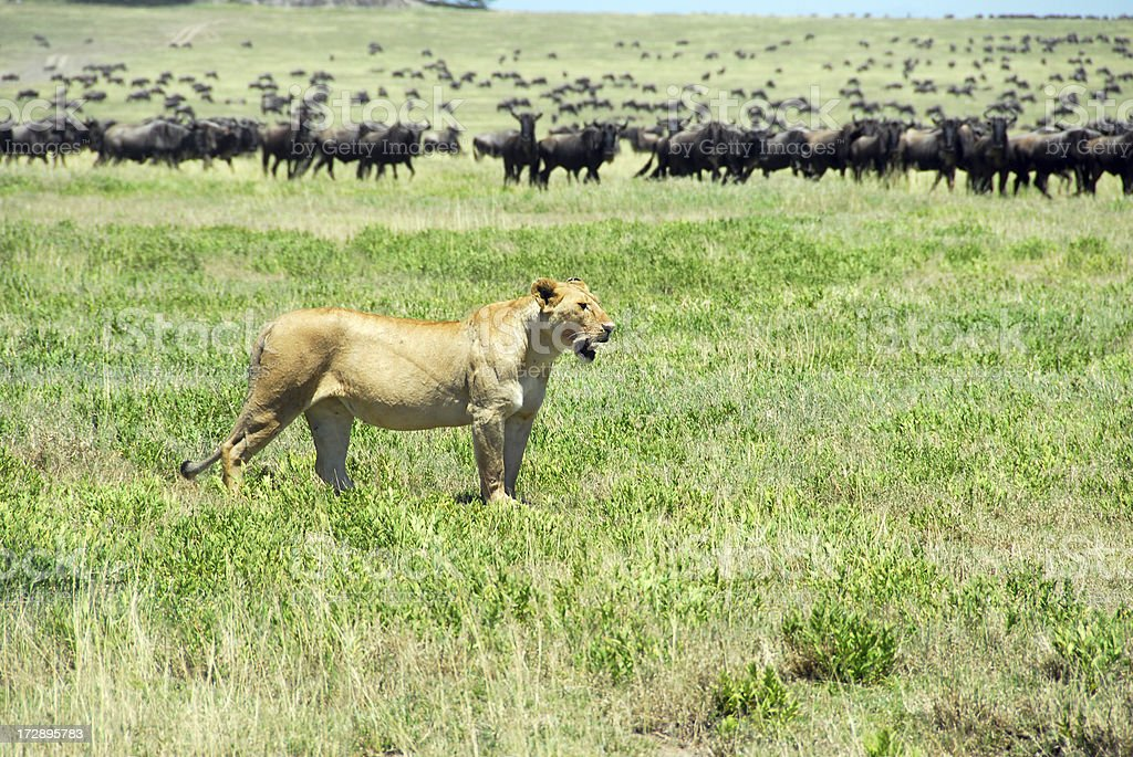Lion Watching Prey in Serengeti National Park, Tanzania royalty-free stock photo