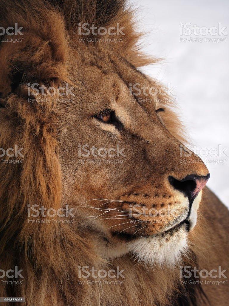 Lion Weisheit Profil Hautnah Auf Den Schnee Stockfoto Und Mehr