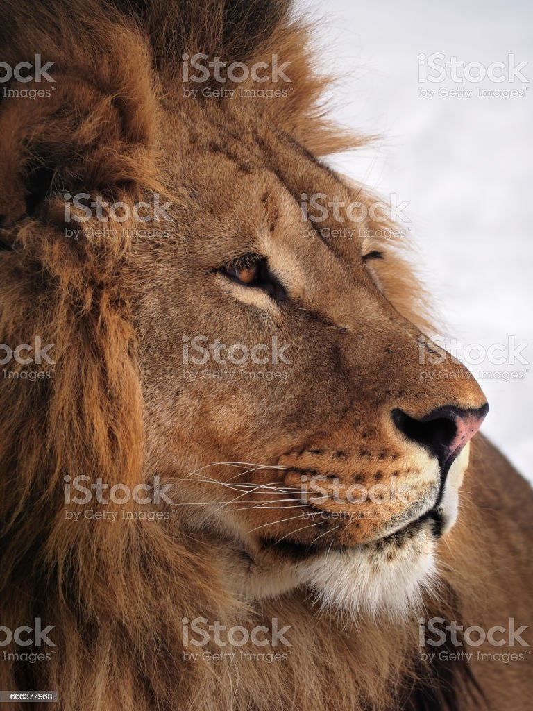 Lion wisdom profile close up at the snow stock photo