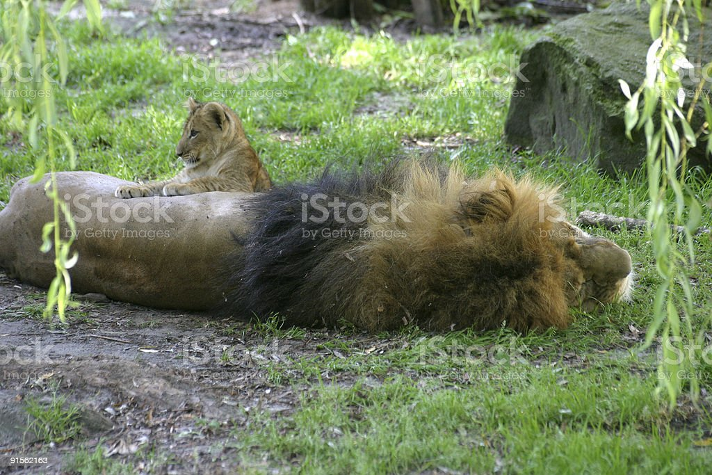 Lion with baby royalty-free stock photo