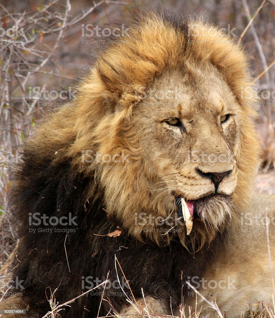 Lion with broken tooth zbiór zdjęć royalty-free
