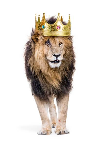 löwe mit könig des dschungels-krone - hochkönig stock-fotos und bilder