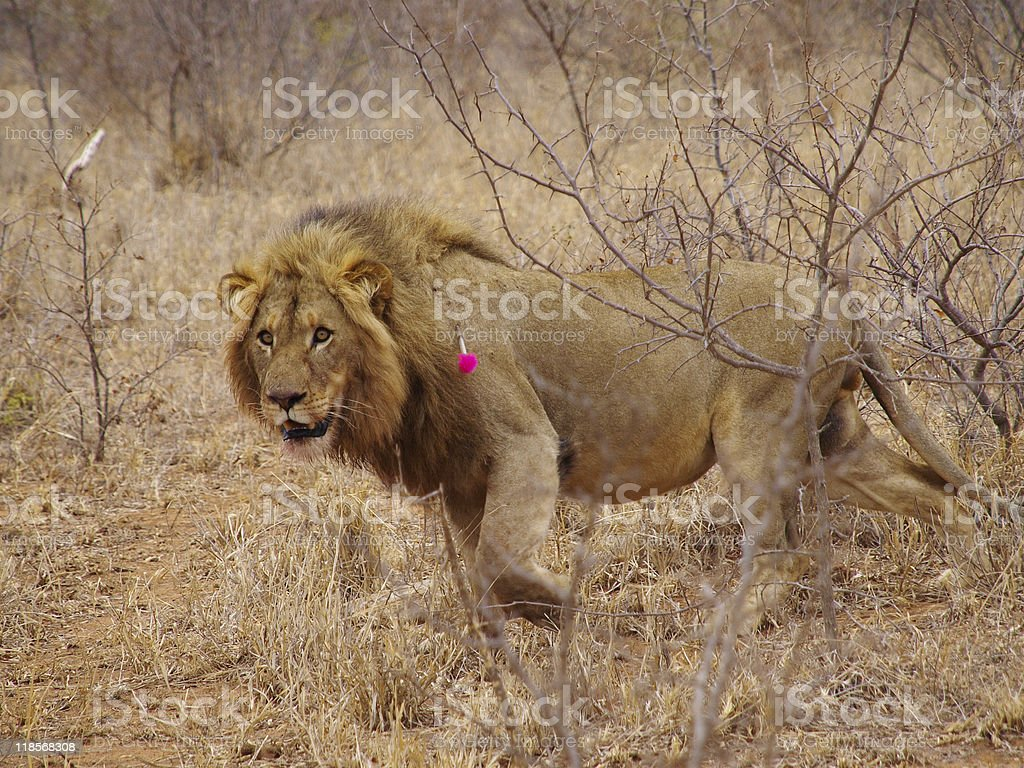 Lion with tranquilizer dart in its shoulder stock photo