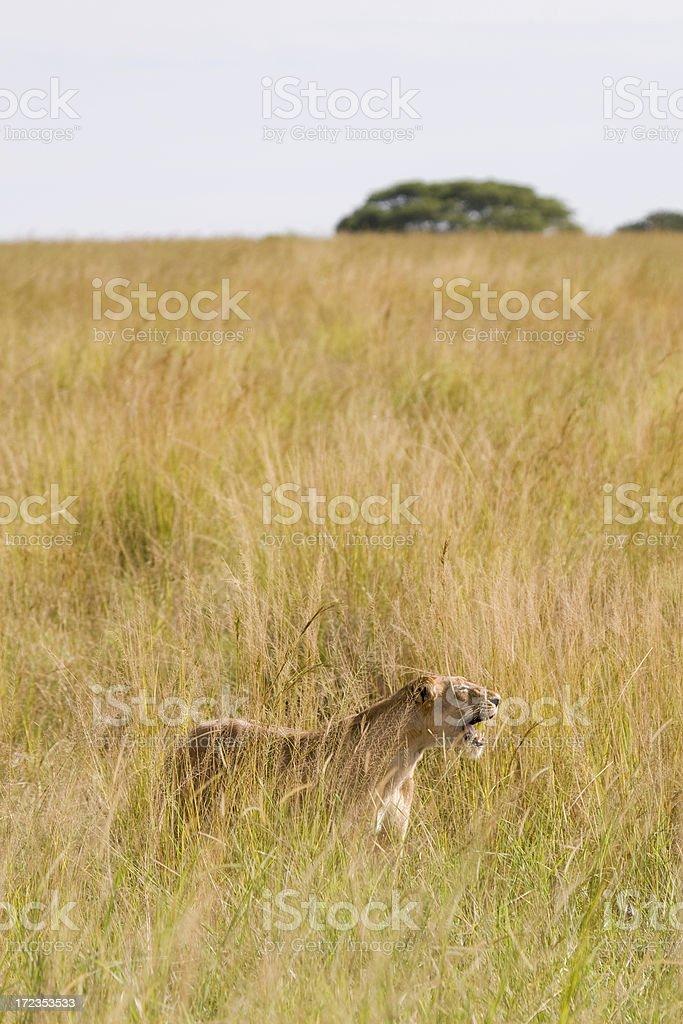 Lion bostezar foto de stock libre de derechos