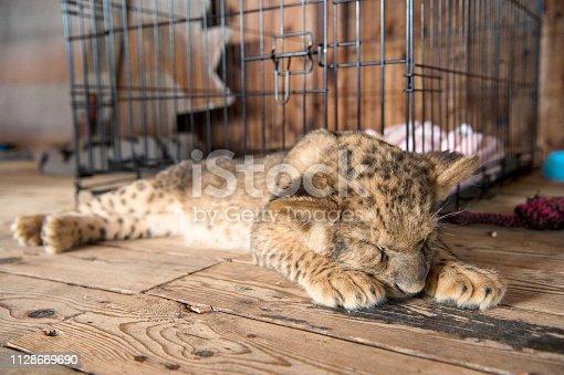 Petit lion qui dort à la chaleur des rayons du soleil