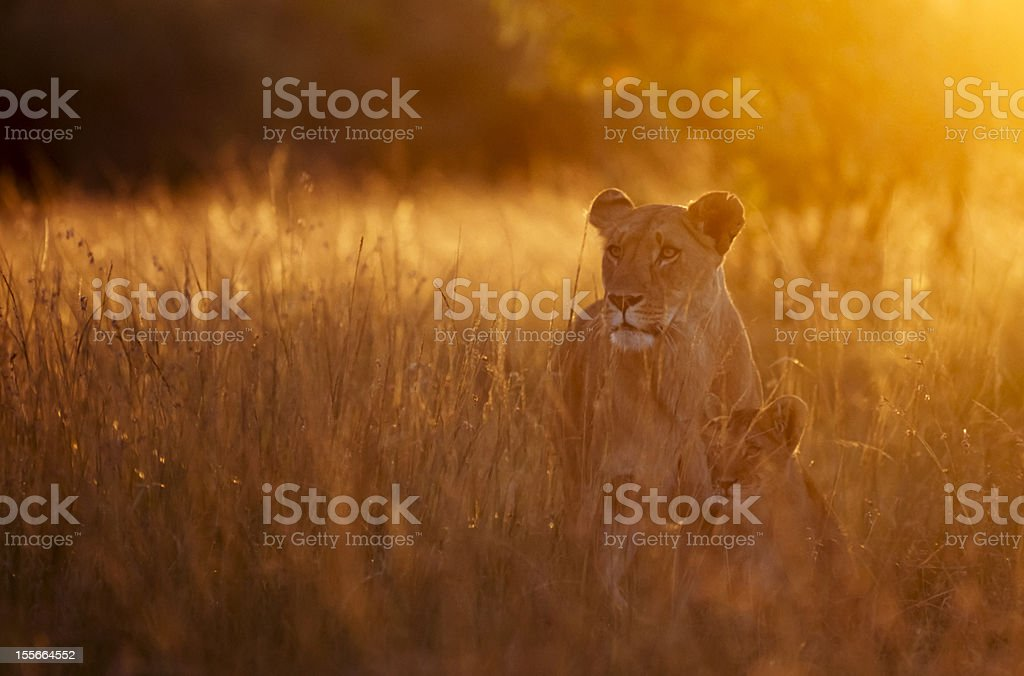 Lioness and cub in morning light stock photo