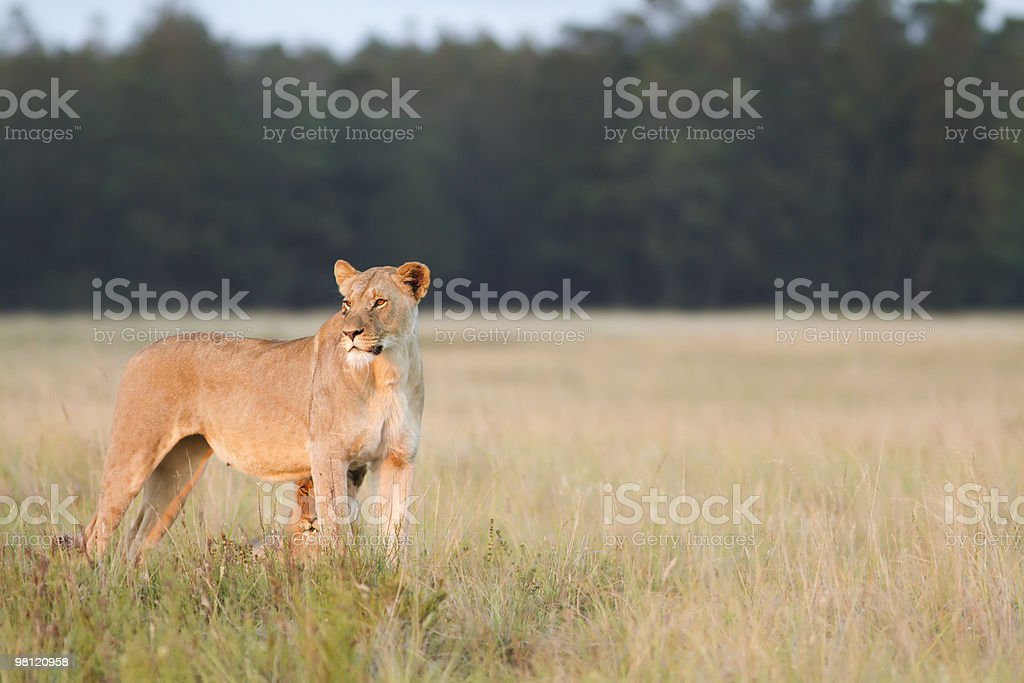 Lioness and cub surveying grassland royalty-free stock photo