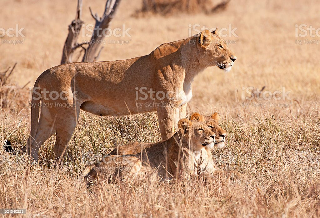 Lioness and cubs hunting, Botswana, Africa stock photo
