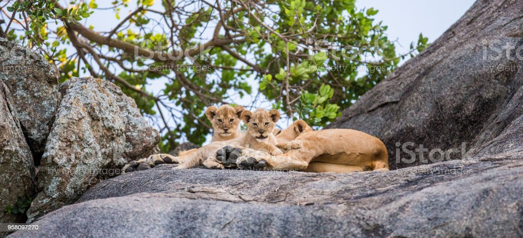 Lioness and her cubs on a big rock. stock photo