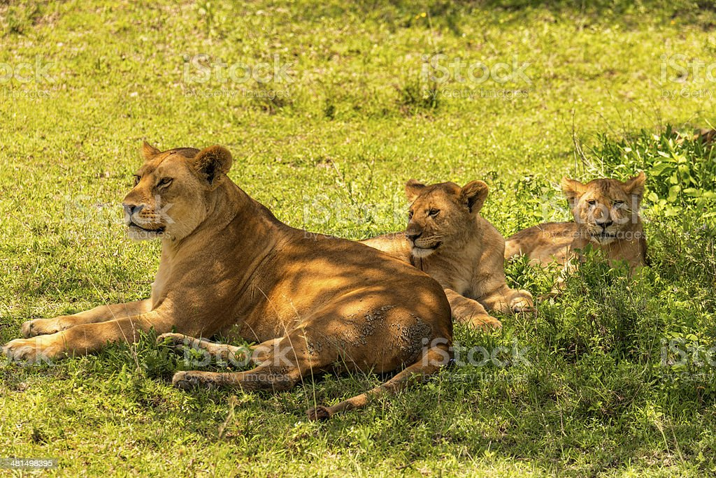 Lioness and Her Cubs stock photo